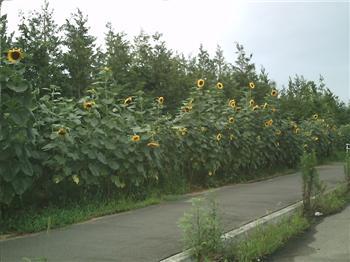 ひまわりH200805-02