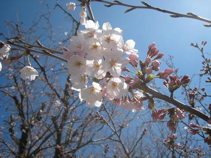 4/1 桜