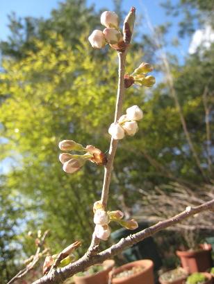 4/6 暖地桜桃