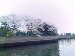 まだまだ桜もありました
