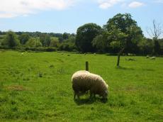 羊もピクニック