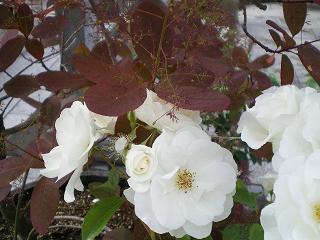一重の白薔薇と煙の木