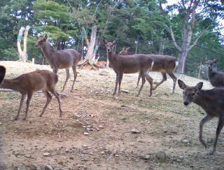 丸山公園の鹿さんに気づかれる「あ、みらんだ」