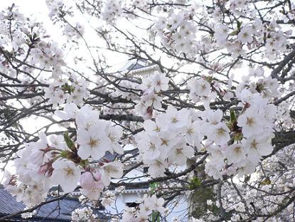 唐津城の桜1