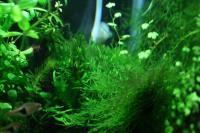 ラスボラ水槽のモス