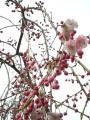 枝垂れ桜ちゃん