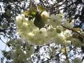 鬱金の桜アップ07