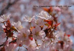 桜♪咲いた♪