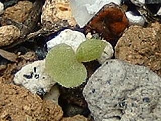 ハウスリークの芽
