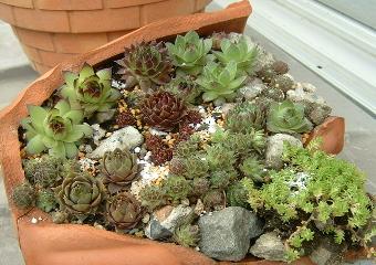 割れ鉢寄せ植え
