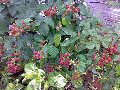 berry2.1.jpg