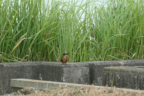 kawasemi070929008.jpg