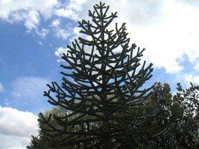 モンキーパズルの木2