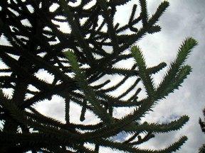 モンキーパズルの木3