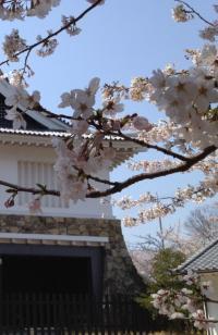 桜_convert_20120408