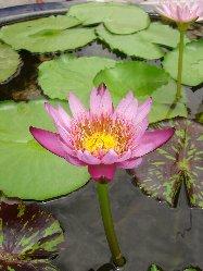タイで見た花
