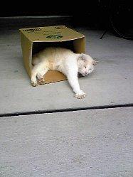 ダンボールに入るネコ