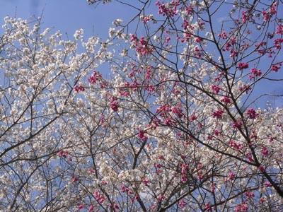 桜201203