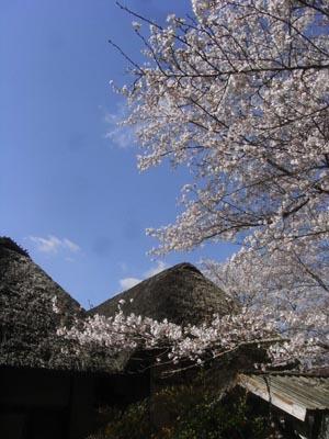 桜201204