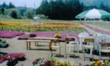 過去の花畑①