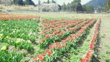 2012、4チューリップ畑⑤