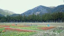 2012、4チューリップ畑④