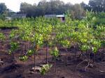 サンホセの植樹