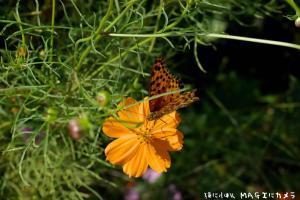 馬籠のコスモスと蝶