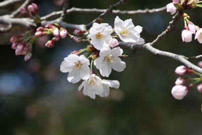 桜 画像1