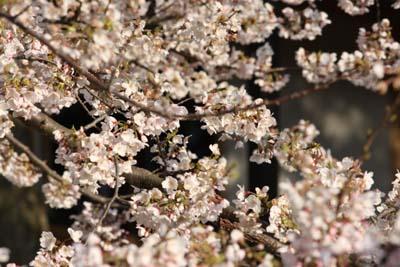 201204桜満開2