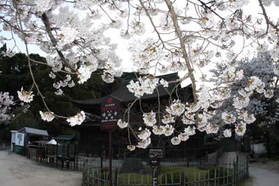 20120407功山寺桜1