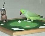 ゴルフをするインコ