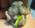 【激カワ】必死にブロッコリーを食べるハムスター