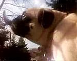 【お犬様】エッチな舌使いのパグちゃんペロペロムービー
