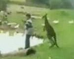 カンガルーにケツを蹴っ飛ばされる男