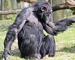 【18禁】チンパンジーだってバンバンジー