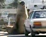 ゾウアザラシ VS 車