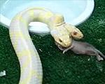 双頭のヘビがネズミを食べる瞬間