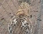 タイガーアパカ