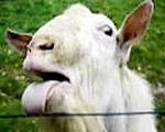 電線を舐めるマゾ羊~やメエられない止まらない~