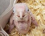 生まれたばかりのヒナ鳥画像