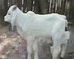 【ニア牛鬼】六本足の牛