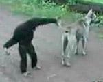 イヌのシッポを引っ張ってからかうサル