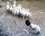 覆面羊とアヒル