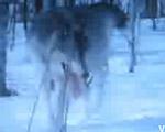 【真冬の死闘】狼 対  屈狸(クズリ)