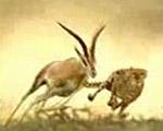 地上最速の肉食獣 チーターが狩りをする様子