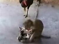 猫をニワトリから守ろうとするお猿さん