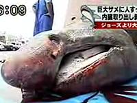 ジョーズよりデカイ!体長9メートル・重さ約4.6tの鮫が水揚げ