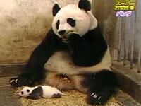 子パンダの鳴声に驚く親パンダ