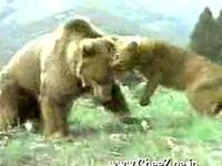 クマ vs 母クーガー